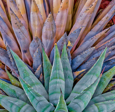 AGAVES1.HDR_