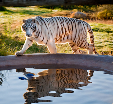 Africa tiger.reflection